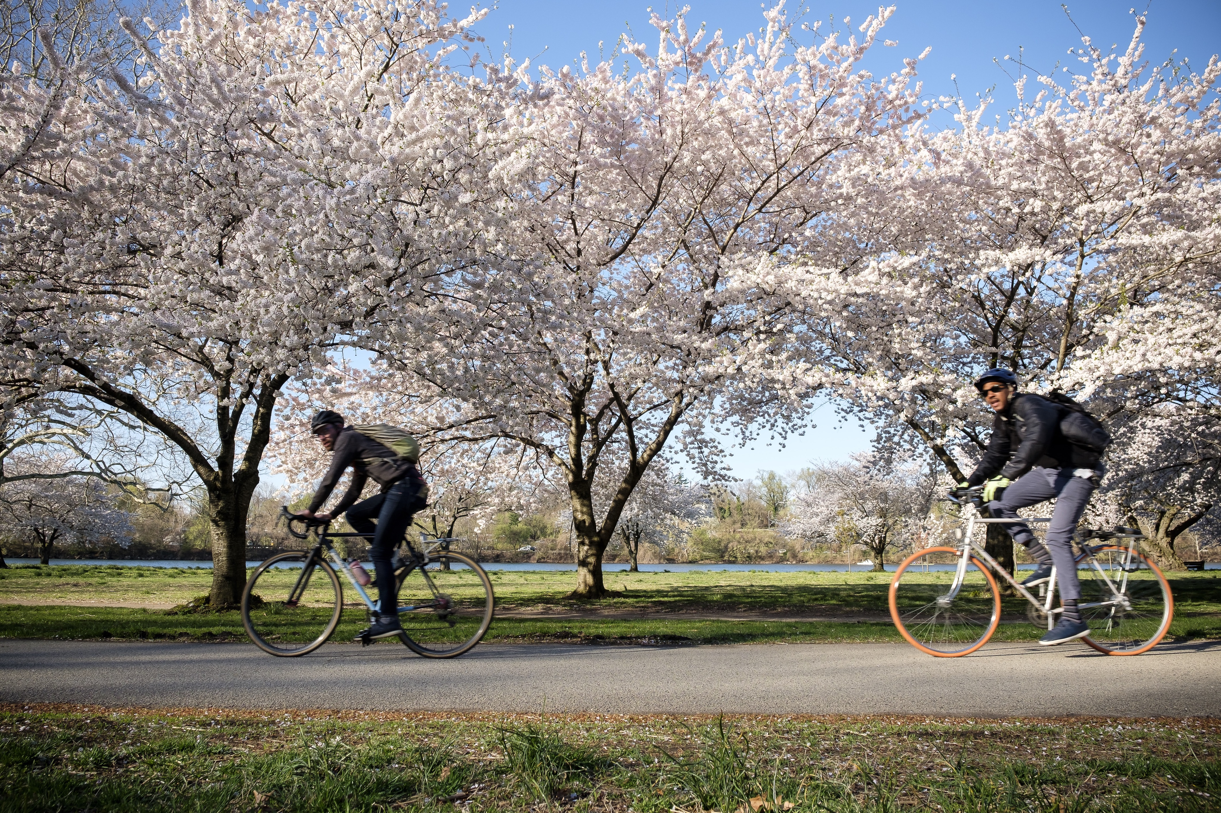 Cyclists ride under the cherry trees along the Schuylkill River Trail